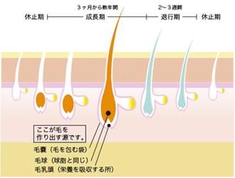 毛の構造メカニズム図